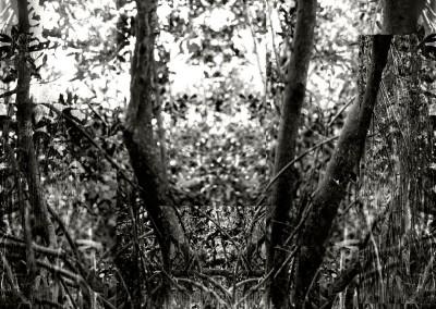 Mangrove V, 1/9, 91 x 61 cm, 2012